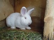 кролики пород Калифорнийский,  НЗБ,  БСС