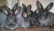 Продаю кроликов породы серебристый на племя