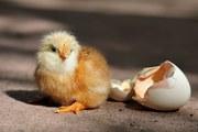яйцо инкубационное кур