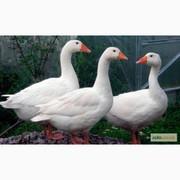 Продам домашних гусей разного окраса цена 220грн.