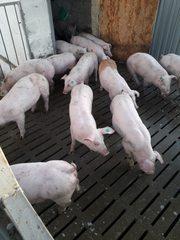 Поросята Опт від 100 голів зі свинокомплексу