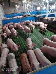 Поросята купити оптом зі свинокомплексу.